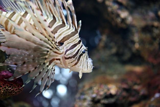 Metti a fuoco il lionfish e pericoloso.