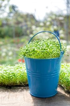 Micro verdi. primo piano di coltivazione della rucola germogliata.