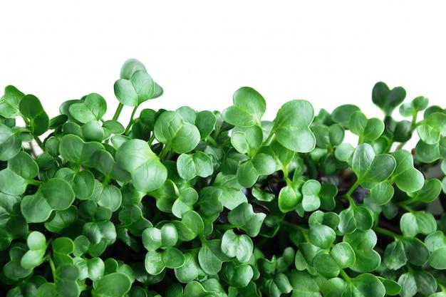 Microgreen di ravanello. fine verde di struttura del foglio in su isolata su bianco