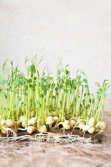 Microgreens. vista alta vicina dei piselli germogliati crescenti.