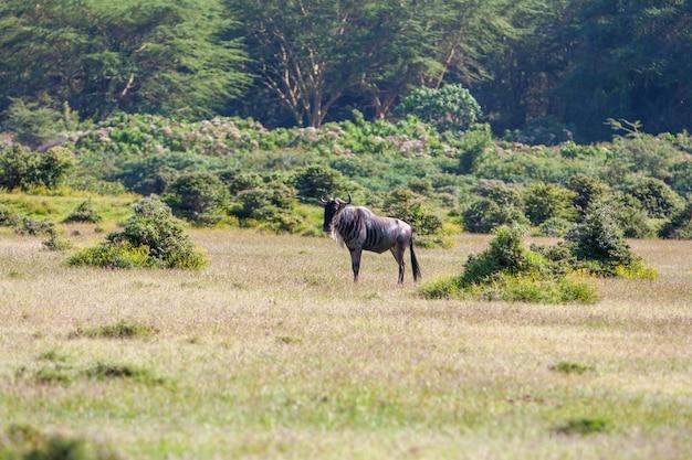 Migrazione degli gnu dell'antilope in kenya