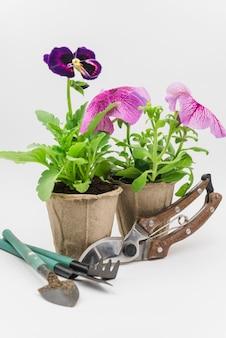 Mini attrezzi da giardinaggio; cesoie con piante di petunia e viola del pensiero su sfondo bianco
