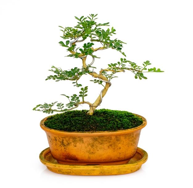 Mini bonsai in vaso su bianco