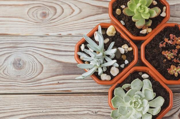 Mini piante verdi succulente in vasi di plastica marrone