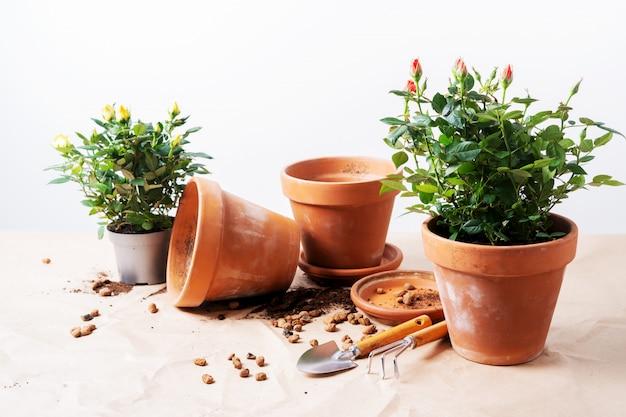 Mini rose in vasi da fiori in ceramica e attrezzi da giardinaggio con spazio libero per il testo. piantare rose in vaso a casa.