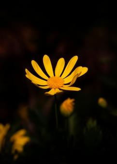 Minimo fiore giallo con uno sfondo nero con uno spazio di copia: umore scuro