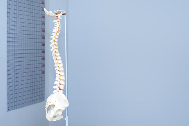 Modello artificiale della colonna vertebrale cervicale umana in studio medico. copyspace per il testo