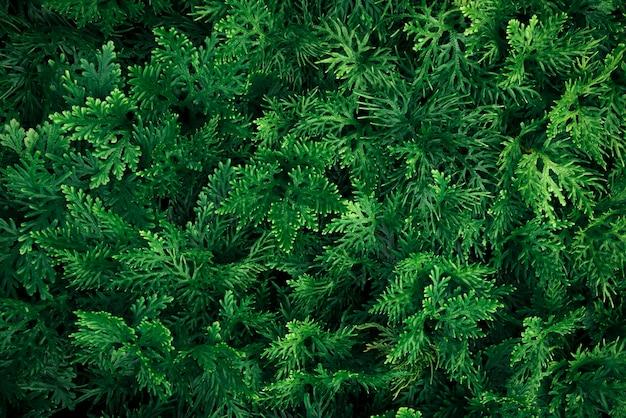 Modello delle foglie verdi in giardino. sfondo naturale concetto di ambiente