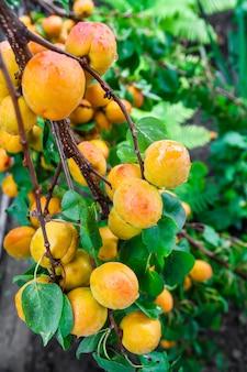 Molte albicocche organiche fresche mature con le gocce di acqua su un ramo di albero