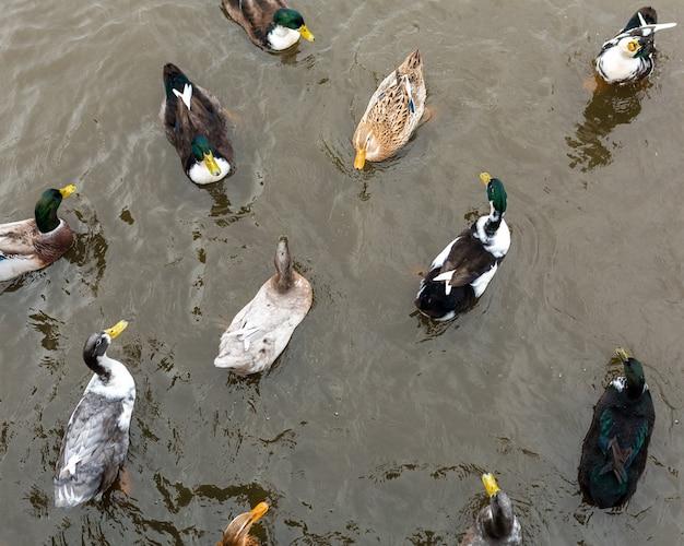 Molte anatre nuotano nell'acqua. animali in un parco cittadino