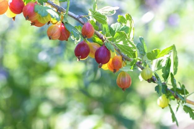 Molte bacche mature uva spina rosse su un ramo nel giardino.