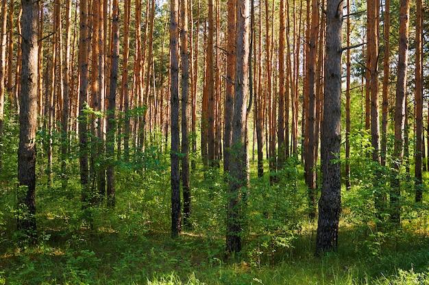 Molte conifere nella foresta.