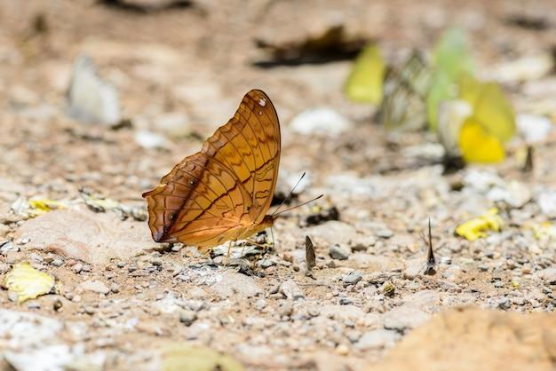Molte farfalle pieridae raccogliendo acqua sul pavimento