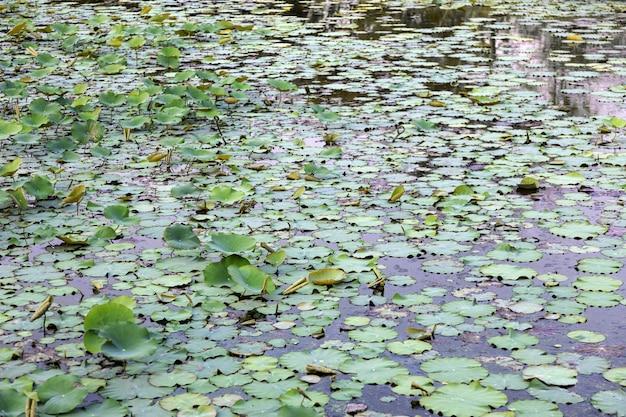 Molte foglie d'acqua lilly sul laghetto