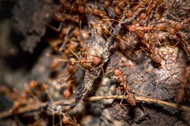 Molte formiche mangiano cibo, distanza ravvicinata.