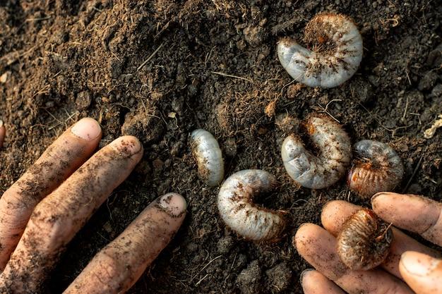 Molte larve dello scarafaggio sono in terreno argilloso.