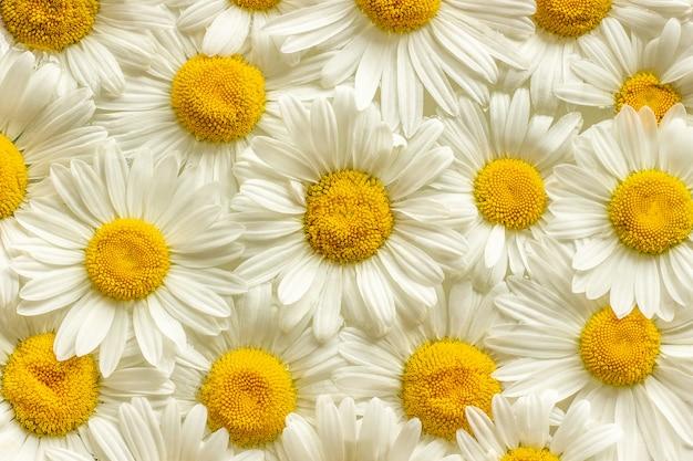 Molte margherite della camomilla dei fiori del campo si chiudono su