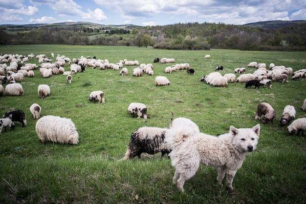 Molte pecore con la loro guardia del cane