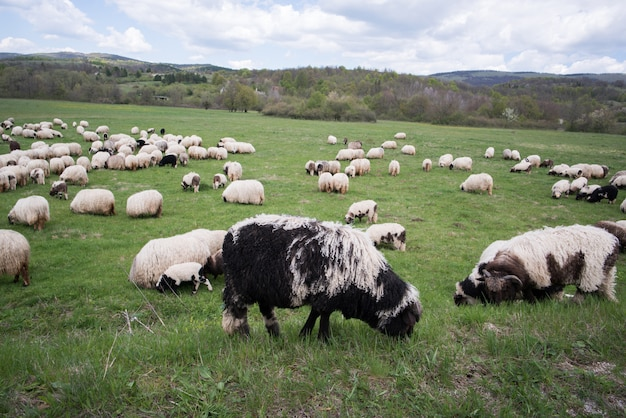 Molte pecore sul campo di montagna