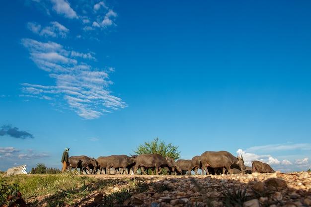 Molti bufali mangiano erba nelle zone umide.