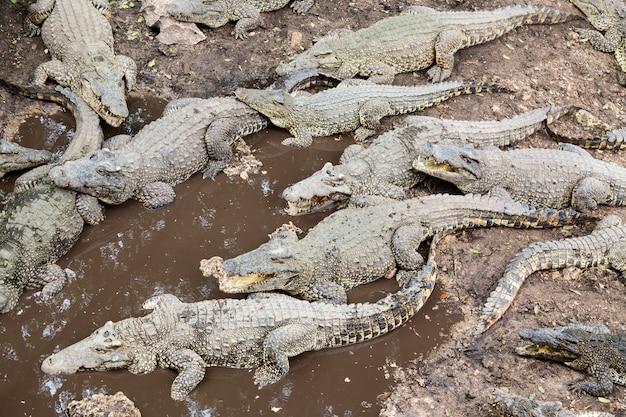 Molti coccodrilli alla fattoria a cuba.