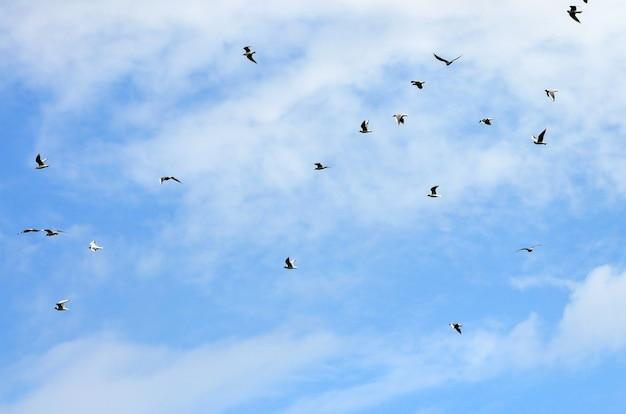 Molti gabbiani bianchi volano nel cielo nuvoloso blu