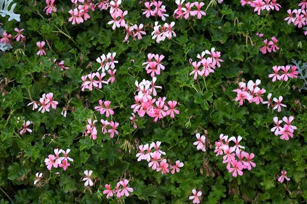 Molti gerani rosa di fioritura all'aperto. campo di geranio rosa, vista dall'alto