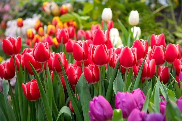 Molti tulipani rossi nel giardino in primavera