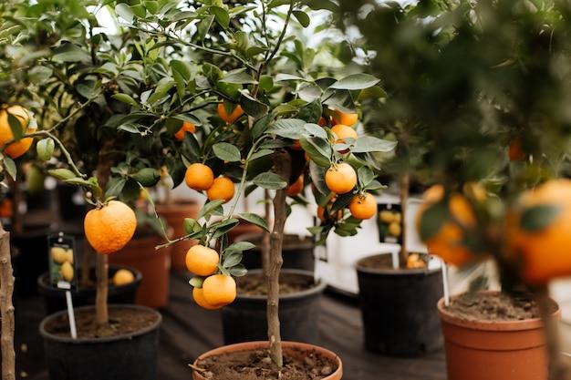 Molti vasi con una crescente pianta di mandarino su uno scaffale in un negozio.