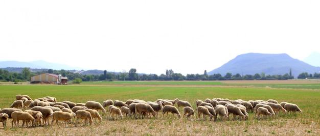 Moltitudine delle pecore che pasce prato nel campo di erba