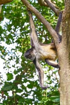 Mono arana spider monkey in riviera maya