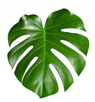 Monstera bellissima foglia verde di piante d'appartamento, elemento di design o decorazione.