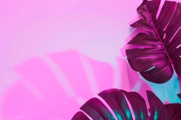 Monstera lascia con ombra su sfondo rosa