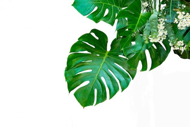 Monstera lascia le foglie con isolato su sfondo bianco foglie su bianco