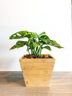 Monstera obliqua nel vaso in legno