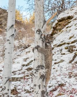 Montagna lion cub climbing un albero di betulla in inverno