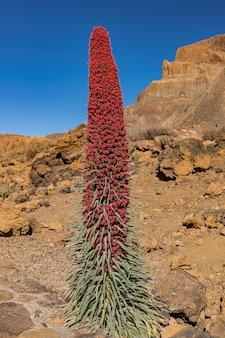Monte teide bugloss (echium wildpretii), fioritura