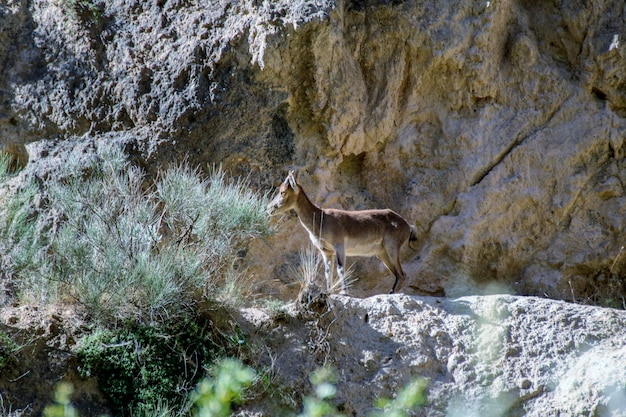 Montesa di capra in montagna