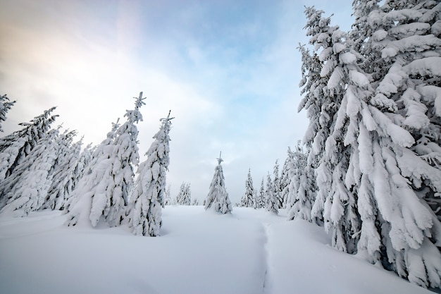 Moody paesaggio invernale di boschi di abete rosso rannicchiata con neve bianca e profonda in altopiani ghiacciati.