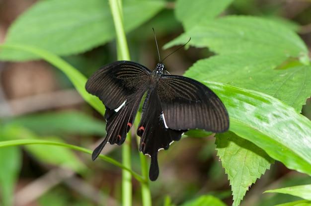 Mormone comune, bella farfalla