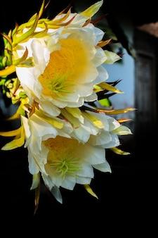 Morning dragon flower