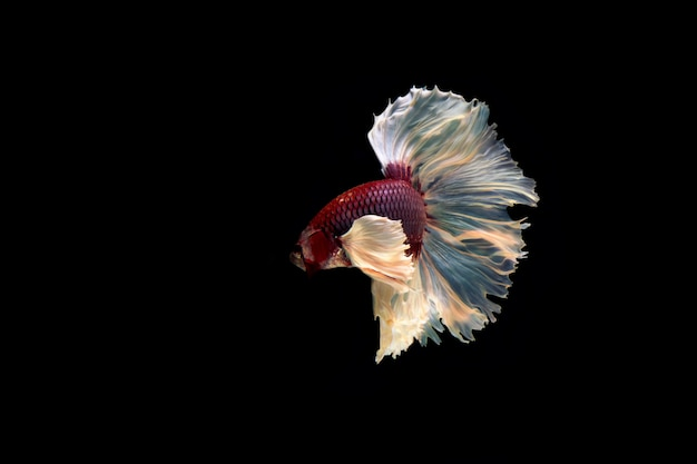 Moto del pesce siamese di betta isolato su fondo nero.