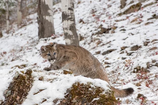 Mountain lion cub climbing up una roccia in un pomeriggio di inverno nevoso