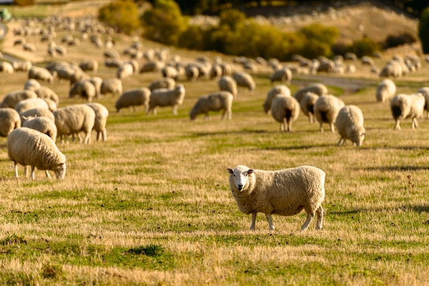 Mountain view delle pecore in nuova zelanda.