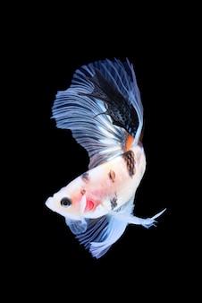 Movimento del pesce betta, pesce combattente siamese, betta splendens isolato sul nero
