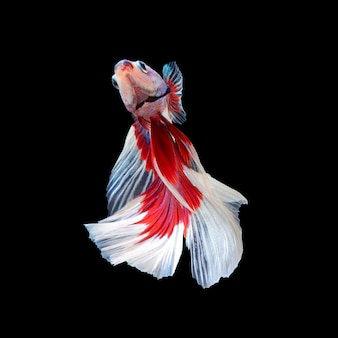 Movimento del pesce betta, pesce combattente siamese, betta splendens isolato sul nero