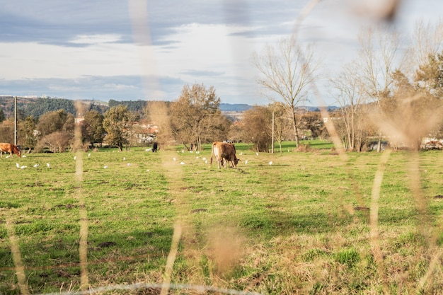 Mucca al pascolo nel prato