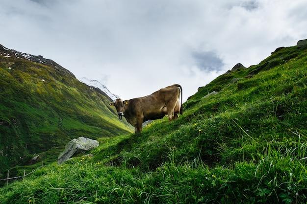 Mucca alpina al pascolo nelle alpi svizzere