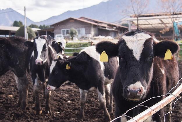 Mucca che esamina macchina fotografica nell'azienda agricola del giappone
