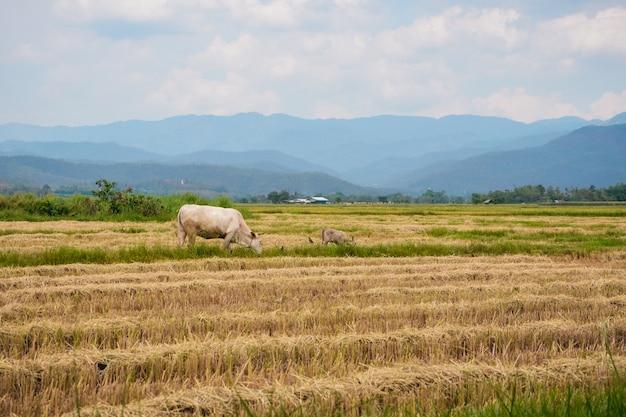 Mucca che mangia erba o paglia di riso nel giacimento del riso con il fondo della montagna e del cielo nuvoloso.